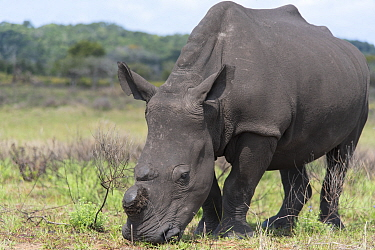 White rhinoceros (Ceratotherium simum) which has had its horn removed,  Isimangaliso Wetland Park, KwaZulu Natal, South Africa, August. They are dehorned to prevent poaching.
