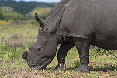 White rhinoceros (Ceratotherium simum),iSimangaliso Wetland Park UNESCO World Heritage Site, and RAMSAR Wetland. South Africa, August 2017. They are dehorned to prevent poaching.