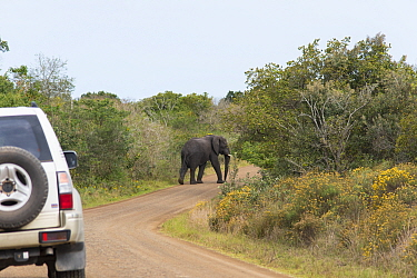 Elephant (Loxodonta africana) standing in the road of the Western Shore. iSimangaliso Wetland Park UNESCO World Heritage Site, and RAMSAR Wetland. South Africa, August 2017. Cropped.