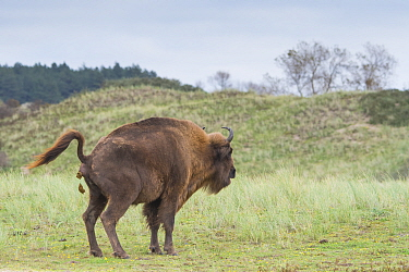 European bison (Bison bonasus) defecating, Zuid-Kennemerland National Park, the Netherlands. Reintroduced species.