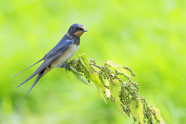 Barn swallow (Hirundo rustica) perched on nettle, The Netherlands
