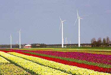 Tulip fields and wind farm and tulip fields near Almere, Flevoland, Netherlands. May 2013