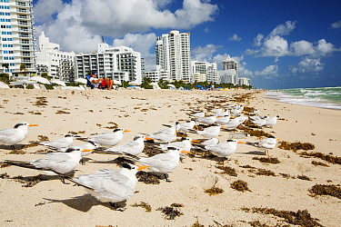 Royal terns  (Thalasseus maximus) nests on the beach infront of hotels and apartment blocks on Miami Beach, Florida, USA. October 2015