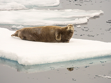 Bearded seal (Erignathus barbatus) on rotten melting sea ice, off the coast of Northern Svalbard. July 2013.