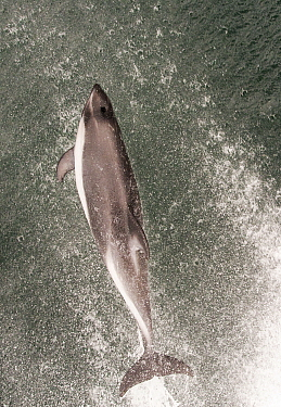 Peale's dolphin (Lagenorhynchus australis) bow riding off the front of a boat, Falkland Islands, South Atlantic. February.