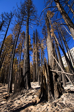 Forest fire destroyed area of forest in the Little Yosemite Valley in the Yosemite National Park, California, USA. This fire was started by a lightning strike.  October 2014