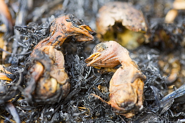 Meadow pipit (Anthus pratensis) chicks killed by the fire caused by discarded cigarette, Littleborough, England, UK. May.