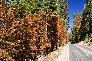 Wildfire damage in Yosemite National Park, California, USA. Most of California was in exceptional drought, the highest classification of drought, which  lea to an increasing number of wild fires. Octo...