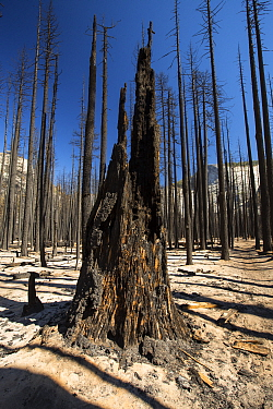 Forest fire destroyed area of forest in the Little Yosemite Valley, Yosemite National Park, California, USA. Most of California was in exceptional drought, the highest classification of drought, which...