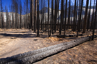 Forest fire destroys an area of forest in the Little Yosemite Valley, Yosemite National Park, California, USA. Most of California was in exceptional drought, the highest classification of drought, whi...