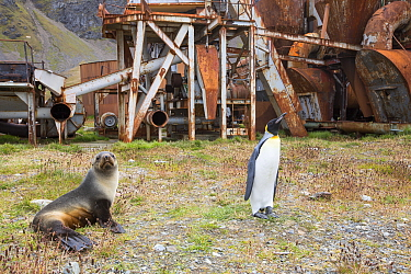 King penguin (Aptenodytes patagonicus) and Antarctic fur seal (Arctocephalus gazella), by the old whaling station at Grytviken on South Georgia. In its 58 years of operation, it handled 53,761 slaught...