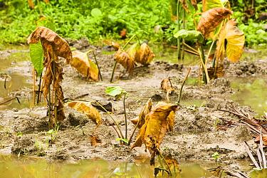 Swamp taro / Pulaka (Cyrtosperma merkusii) that has been killed off by salt water incursion on Funafuti, tuvalu, caused by global warming induced sea level rise. March 2007