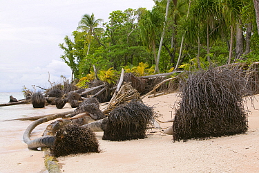 Trees fallen over because of undercutting coastal erosion caused by global warming induced sea level rise, Tepuka island off Funafuti atol in Tuvalu. March 2007