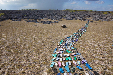 Pathway made of  plastic shoes ( flip flops) washed up on the beach  and collected within 20 metres of the middle of the picture. In the background is a Aldabra giant tortoise (Aldabrachelys gigantea)...