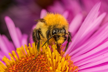 Common carder bumblebee (Bombus pascuorum) feeding on flower (Aster sp) , Monthmouthshire, Wales, UK. September.