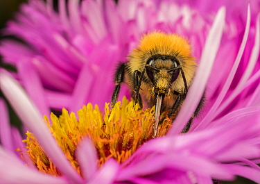 Common carder bumblebee (Bombus pascuorum)  with proboscis extended as it feeds on a flower (Aster sp) , Monmouthshire, Wales, UK.
