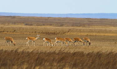 Mongolian gazelle (Procapra gutturosa) herd grazing, Daurian Nature Reserve. Daurian Steppes UNESCO World Heritage Site, Zabaykalsky Krai, Siberia, Russia, June 2016.
