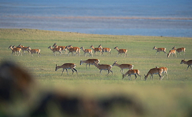Mongolian gazelle (Procapra gutturosa) herd grazing, Lake Zun-Torey, Daurian Nature Reserve. Daurian Steppes UNESCO World Heritage Site, Zabaykalsky Krai, Siberia, Russia, June 2016.
