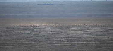 Mongolian gazelle (Procapra gutturosa) in the dried basin of Lake Zun-Torey, Daurian Nature Reserve.  Daurian Steppes UNESCO World Heritage Site, Zabaykalsky Krai, Siberia, Russia, June 2016.