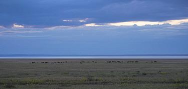 Horses grazing near Lake Barun-Torey, Daurian Nature Reserve. Daurian Steppes UNESCO World Heritage Site, Zabaykalsky Krai, Siberia, Russia, June 2016.
