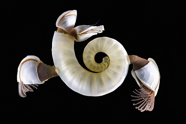 Ram's horn squid / Little post horn squid (Spirula spirula) internal shell with Pelagic goose barnacles (Lepas sp.). South Africa, Atlantic Ocean.
