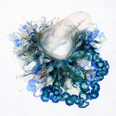 Top-down view of an Indo-Pacific Portuguese Man-of-War (Physalia utriculus). This is one of many thousands that were part of a mass stranding in South Africa. Atlantic ocean.