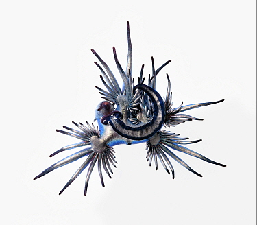 Blue sea slug (Glaucus atlanticus) that was washed ashore with a mass, multi-day stranding of thousands of Indo-Pacific Portuguese man-of-war (Physalia utriculus). This species predates Portuguese man...