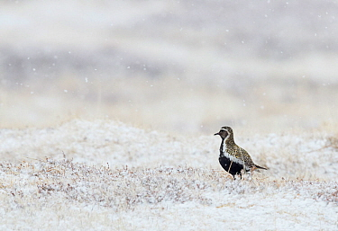 Golden plover (Pluviaria apricaria) on snow covered grass, Vardo, Norway, May.