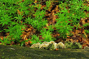 Turkey tail fungus (Trametes versicolor) on dead wood surrounded by Woodruff (Galium odoratum)  Runcu Valley, Dambovita County, Leota Mountain Range, Romania, July