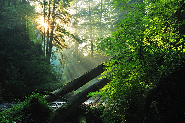 Rays of sunlight penetrating forest in Ghimbavul Valley Gorge, Arges County, Leota Mountains, Carpathian Mountains, Romania, July