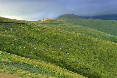 Herd of sheep grazing on alpine grassland with low clouds,  Leota mountain range, Arges county, Carpathian Mountains, Romania, July, 2011