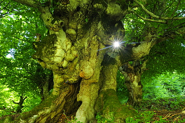 Ancient European beech tree (Fagus Sylvatica) with sunlight shining between branches, Arges County, Carpathian Mountains, Romania, August