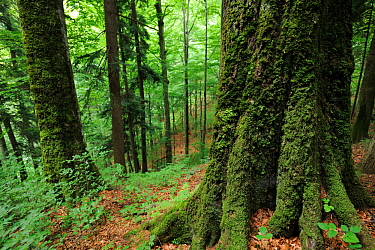 Old-growth beech forest in a WWF Reserve near Piatra Craiului National Park, Southern Carpathians, Rewilding Europe site, Romania