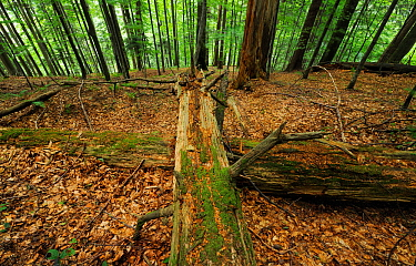 Old-growth beech forest with fallen logs, in a WWF Reserve near Piatra Craiului National Park, Southern Carpathians, Rewilding Europe site, Romania