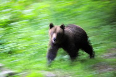 Eurasian brown bear (Ursus arctos arctos) blurred motion image, at a bear watching site in Sinca Noua, Piatra Craiului National Park, Southern Carpathians, Rewilding Europe site, Romania
