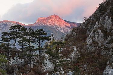 Black pine (Pinus nigra var. bannatica), endemic subspecies, growing on a ridge in Domogled Valea Cernei National Park, Baile Herculane, Caras Severin, Romania, October 2012