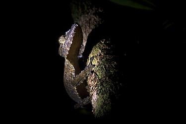 Mossy Leaf-tailed Gecko (Uroplatus sikorae) climbing on a tree at night. Masoala National Park, Madagascar.