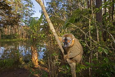 Common brown lemur (Eulemur fulvus) perched in a tree.  Vakona island, Andasibe area, Madagascar. Captive.
