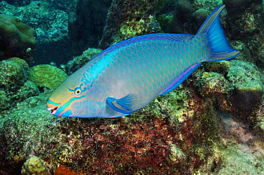 Queen parrotfish (Scarus vetula), terminal phase - male, on coral reef. Bonaire, Leeward Antilles, Caribbean.