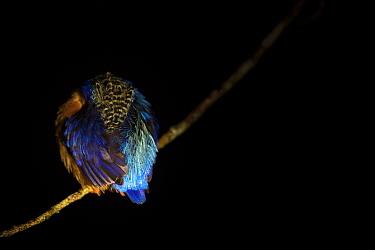 Madagascar / Malagasy kingfisher (Alcedo vintsioides) sleeping at night. Masoala National Park, Bay of Angotil, North Eastern Madagascar.