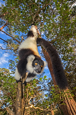 Black and white ruffed lemur (Varecia variegata variegata) hanging from branch, Vakona island, Andasibe area, Madagascar. Captive