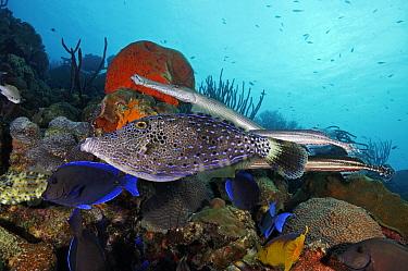 Scrawled filefish (Aluterus scriptus) shadowed by Trumpetfish (Aulostomus maculatus). Blue Tang (Acanthurus coeruleus)  also in this mixed fish species feeding association. Bonaire, Leeward Antilles,...