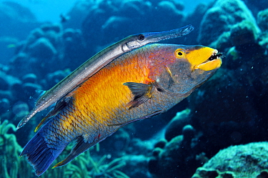 Trumpetfish (Aulostomus maculatus) using a Spanish Hogfish (Bodianus rufus) as a 'stalking horse'. Spanish Hogfish is eating an arm of a starfish. Bonaire, Leeward Antilles, Caribbean.