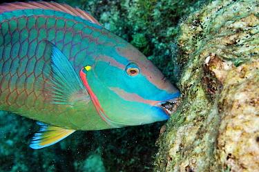 Stoplight parrotfish (Sparisoma viride), male, biting coral rock (feeding on encrusting algae) Bonaire, Leeward Antilles, Caribbean.