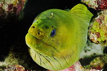Green moray (Gymnothorax funebris) Klein Bonaire, Bonaire, Leeward Antilles, Caribbean.