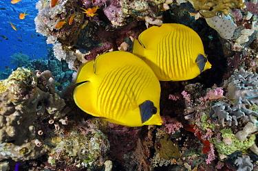 Masked butterflyfish (Chaetodon semilarvatus), pair on coral reef. Jackson Reef, Straits of Tiran, Red Sea, Egypt.