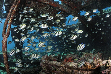 Sergeant major (Abudefduf vaigiensis), shoal on wreck of the Kingston, near Shag Rock, Strait of Gubal, Egypt, Red Sea.