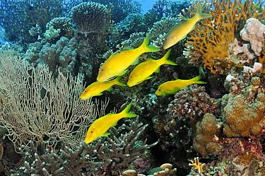 Yellowsaddle goatfish (Parupeneus cyclostomus) on coral reef, Small Passage, Gulf of Suez, Egypt, Red Sea.