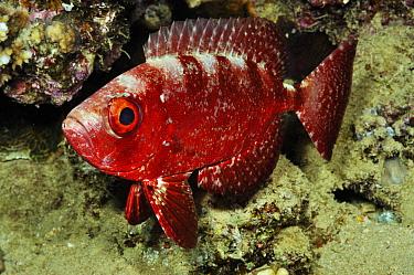 Bigeye fish (Priacanthus hamrur) night time colour Gordon Reef, Straits of Tiran, Egypt, Red Sea.