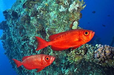 Bigeye fish (Priacanthus hamrur) The Barge (wreck), near Bluff Point, Gubal I., Gulf of Suez, Egypt, Red Sea.
